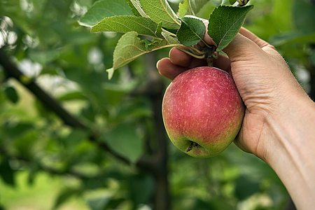 Fresh red side apple in farmer's hand, surrounded by green leaves and apple tree branches. Autumn or summer harvest time and healthy eating concepts. Unfocused garden at background. Copy space.