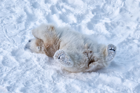 Cute furry big cub of white polar bear is playing alone. Young animal is lying on its back and enjoying the white clean snow. Photo made in winter season in park in Lapland, Finland. Stock Photo