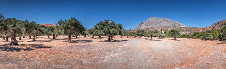 Panorama du paysage d'été rural typique de l'île de Crète, Grèce. Grande vallée avec ancienne plantation d'oliviers au pied de la montagne. Ciel bleu clair. Temps ensoleillé. Grand espace de copie.