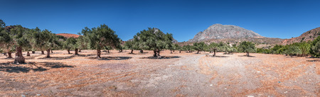 Panorama of typical rural summer landscape of Crete island, Greece. Large valley with old olive tree plantation at the foot of mountain. Clear blue sky. Sunny weather. Large copy space.