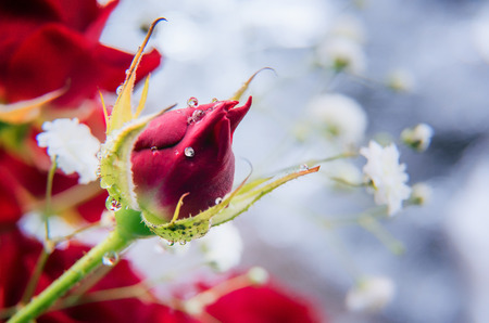 Horizontal spring or summer greeting card with copy space. Beautiful red rose bud with shining small water drops. Selective focus. Unfocused red rose and white gypsophila bouquet at background. Banque d'images