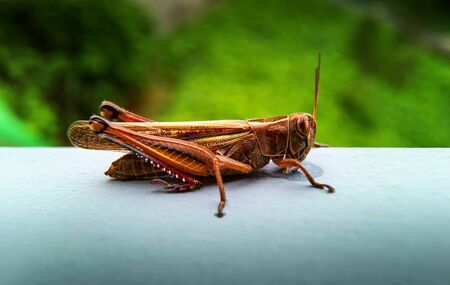 Extreme close up of huge colorful bright bronze, yellow and red grasshopper at the backyard. Insect is resting alone on metal fence. Selective focus. Unfocused green garden at background. Copy space. Reklamní fotografie