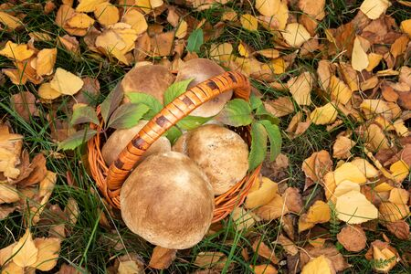 Autumn seasonal background with basket of large wild Penny Bun mushrooms, also known as Porchini or Boletus edulis. Basket is on ground, among fallen yellow leaves and green grass. View from above.