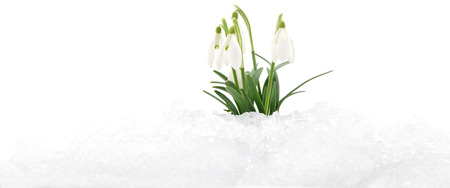 winter flower: Snowdrop flower coming out from real snow.