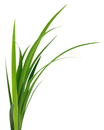 Long blades of green grass isolated on white background. Stockfoto