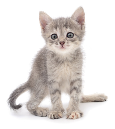 gray cat: Small gray kitten isolated on white background.