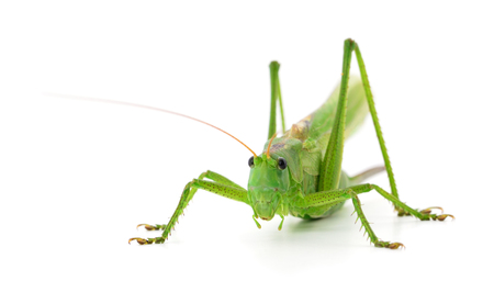 Green locust isolated on a white background Фото со стока