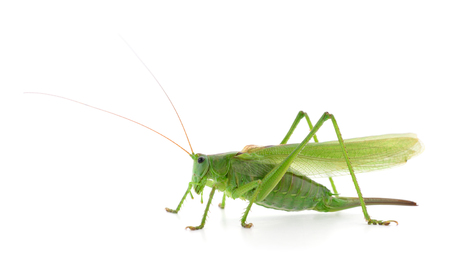 Green locust isolated on a white background Stockfoto