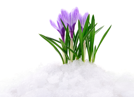 Crocus flowers coming out from real snow.