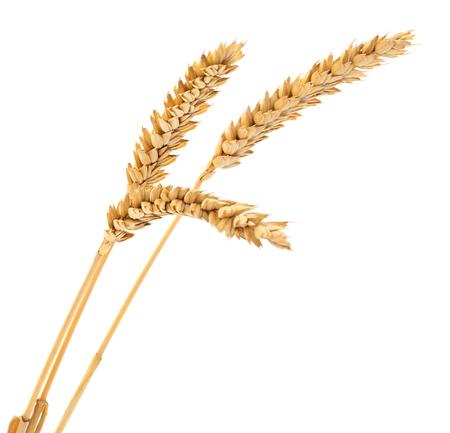 Ears of wheat isolated on white background. Reklamní fotografie