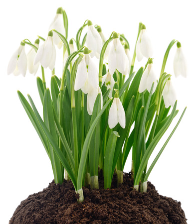 Spring snowdrop flowers isolated on white background.