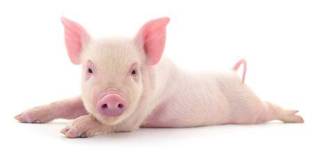 Schwein, das auf einem weißen Hintergrund dargestellt wird Standard-Bild