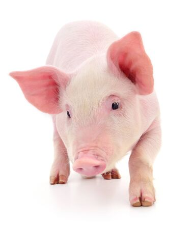 Cerdo que está representado sobre un fondo blanco. Foto de archivo