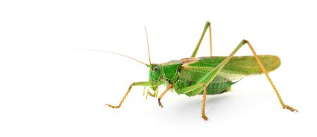 Green locust isolated on a white background.