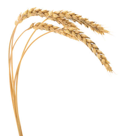 Ears of wheat isolated on white background.