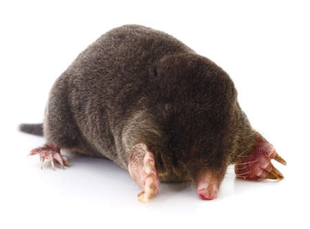 Wild European mole isolated on white background.