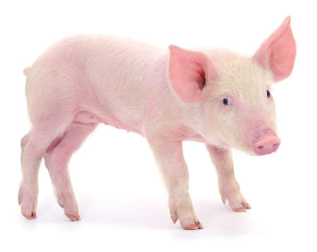 Pig who is represented on a white background Foto de archivo