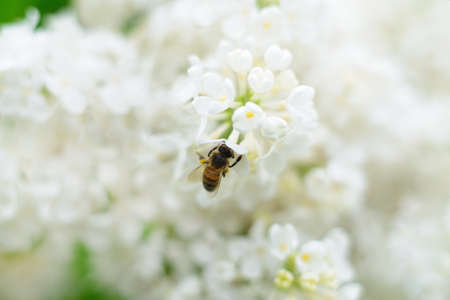 Nature background. Honeybee and white lilac flowers. Banco de Imagens