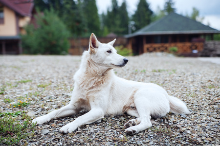 stray: White dog lying and protecting the street. Stock Photo