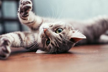 床の上に横たわる美しい灰色の猫。ペットのコンセプトです。