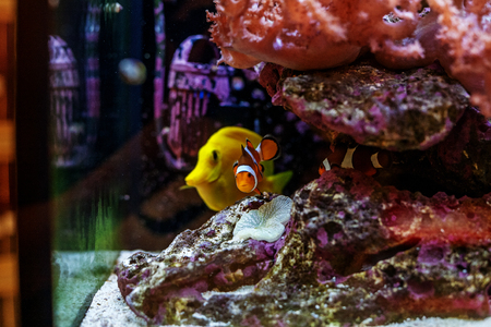 Zebarosum yellow tan-fish swims in an aquarium. The concept of the water world. Stock Photo