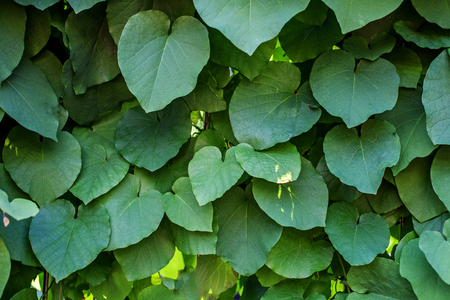 Green leaves. Concept background and texture. Stock Photo