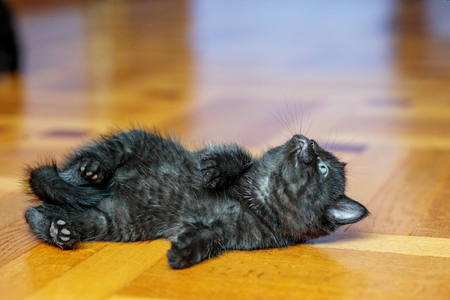 Little black kitten lies on the floor and looks. Pets concept