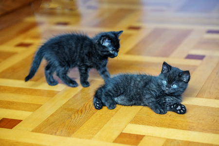 Two little black kittens play on the floor. Pets concept