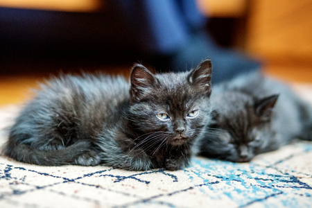 Two little black kittens are sleeping on the floor. Pets concept 写真素材