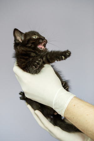 Little kitten in the hands of a veterinarian. Concept pets, treatment, veterinary clinic. Banco de Imagens