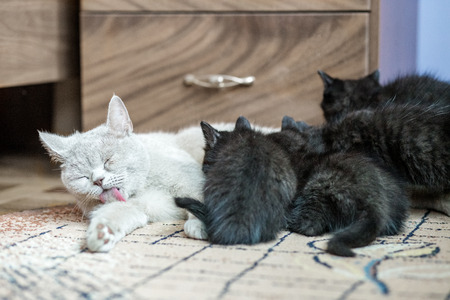 British straight cat feeds little kittens. The concept of pets.