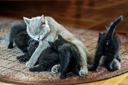 British straight cat feeds kittens. The concept of pets.