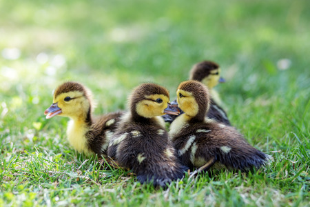 Little ducklings walk on the grass. The concept of pets, farm, farming. 写真素材