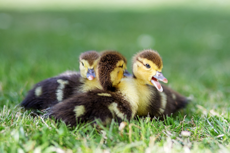 Little ducklings are sitting on the grass. The concept of pets, farm, farming.