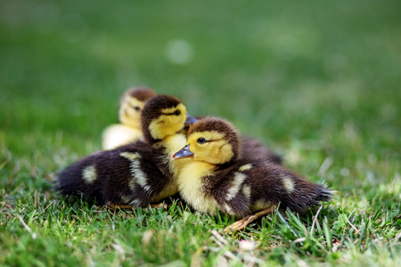 Little ducklings are sitting on the grass. Copy space. The concept of pets, farm, farming. 写真素材