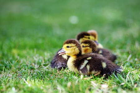 Little ducklings on the grass. Copy space. The concept of pets, farm, farming. 写真素材