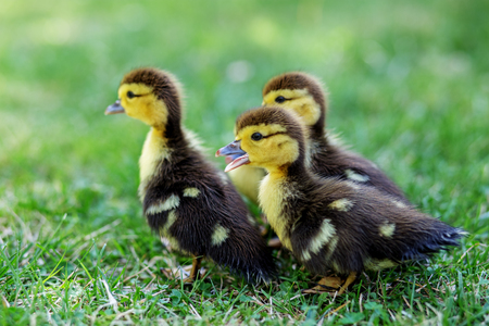 Many little ducklings walk on the grass. The concept of pets, farm, farming.