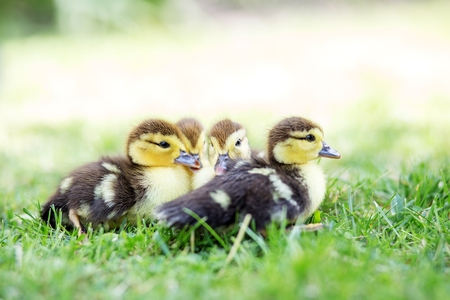 Little ducklings on the grass. The concept of pets, farm, farming. 写真素材
