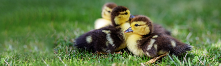 Little ducklings on the grass. Banner for the site. The concept of pets, farm, farming.