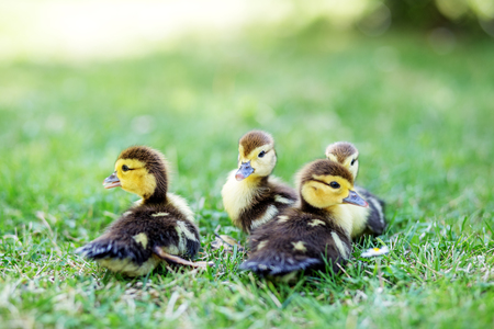 Many little ducklings on the grass. The concept of pets, farm, farming.