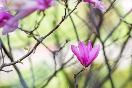 Beautiful background with blooming purple magnolia.