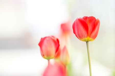 Beautiful red tulips. Copy space. Concept background, flowers and nature