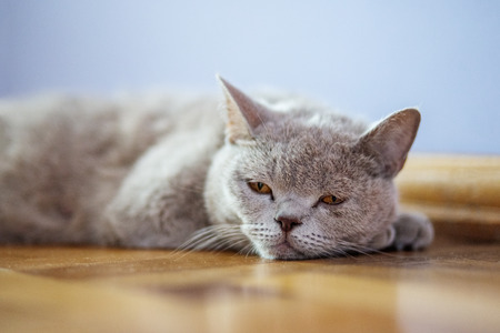 The cat lies on the floor. The concept of pets.