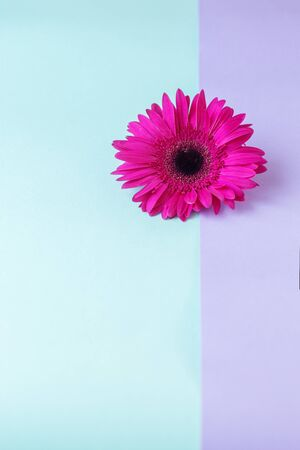 Flower composition. Creative layout made of pink Gerbera Daisy single flower. Close up. Hello spring concept. Minimal style, flat lay. Text space.