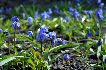 bluebell: Nice and beautifull bluebell flowers on the field