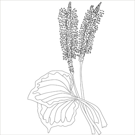 plantain herb: Herbs and Wild Flower. Illustration