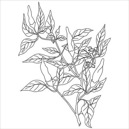 Chili peppers  bush With Leaves Illustration