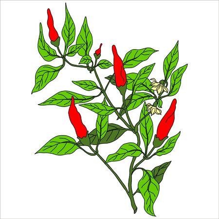 capsaicin: Black. Pepper Isolated on White. Flat Design Style. Vector illustration. Cartoon vector Illustration.