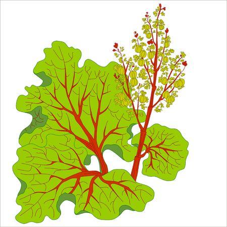 rhubarb: Picture rhubarb stalks harvested and vector isolated. Rhubarb isolated. Illustration