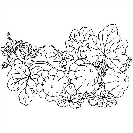 squash: Vector isolated illustration. Patty pan squash. Black. Pattypan squash growing on a white background. Illustration